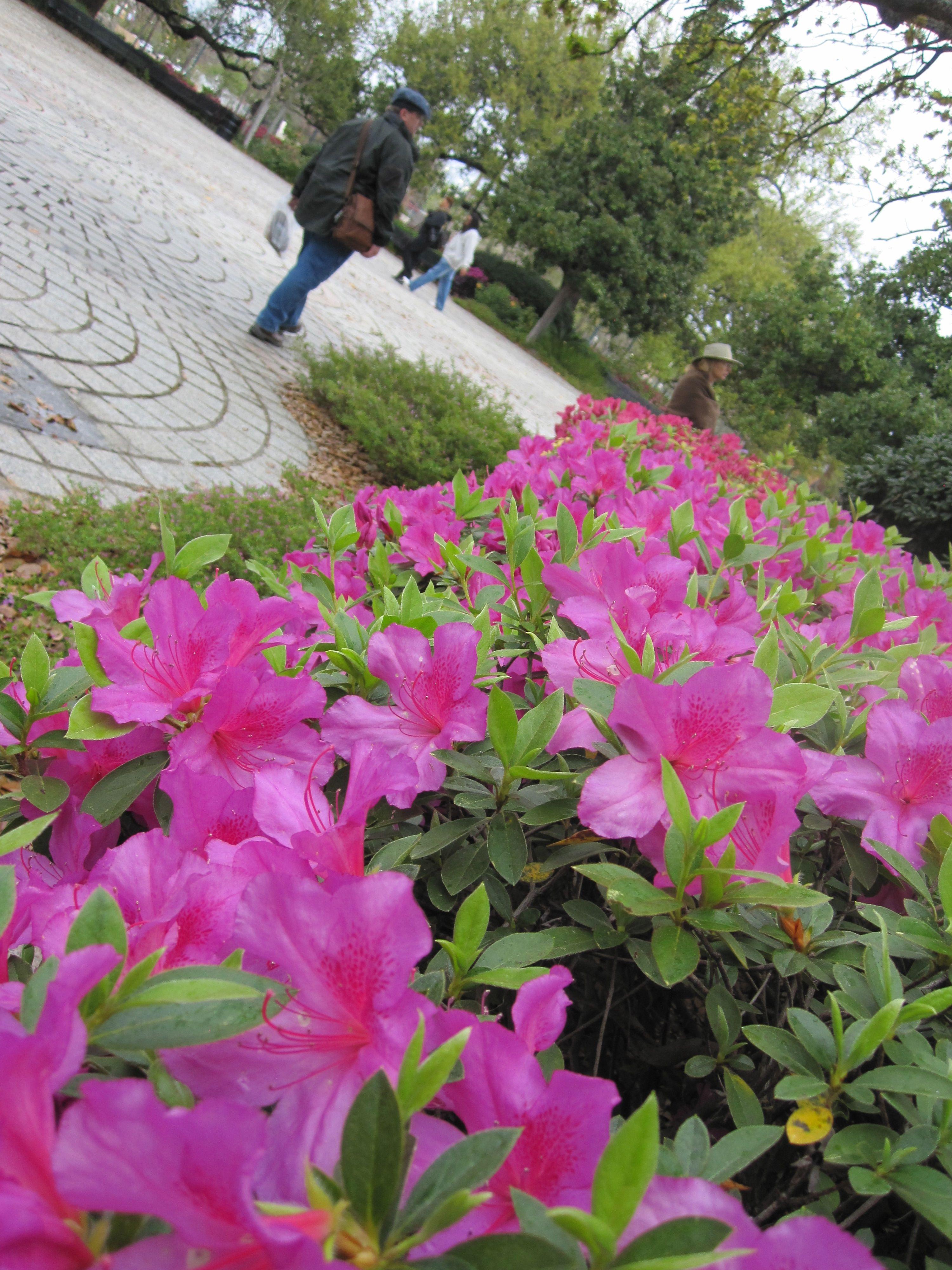 Congo Square Azalea in Bloom, New Orleans Azaleas, New