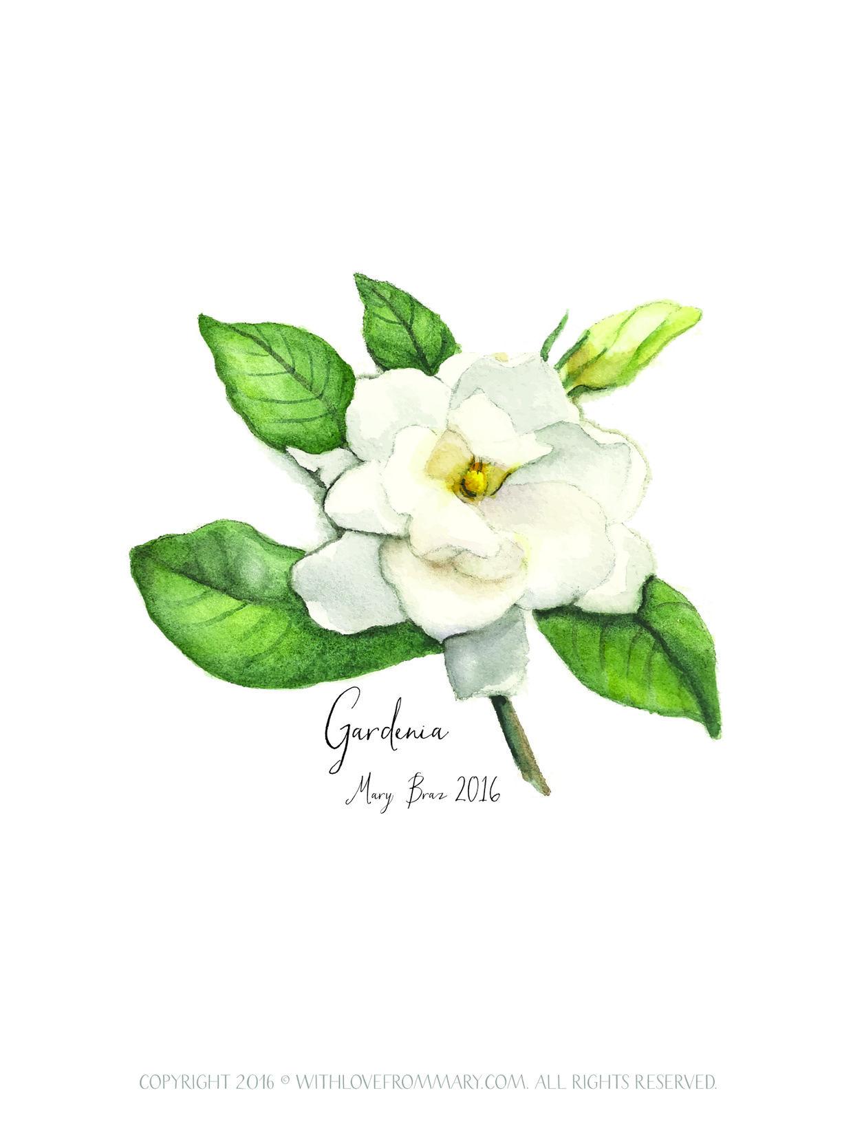 Gardenia 2016 By Mary Braz Www Withlovefrommary Com Flower Drawing Gardenia Flower Sketches