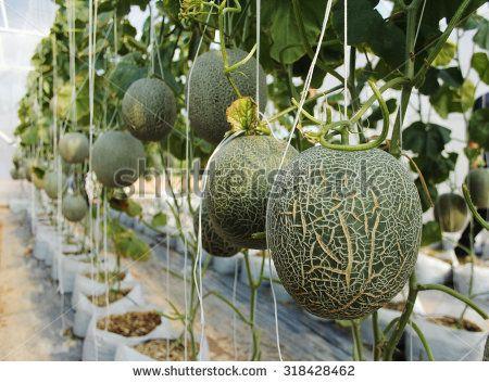 Hydroponics Melon Farm Hydroponics