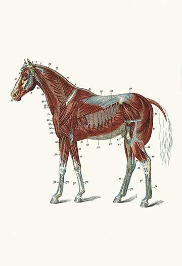 External Muscles & Tendons of the Horse   Pinterest   Horse, Horse ...