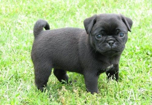 Pure Black Pug Puppies Fpr Sale Pug Puppies Pug Puppies For