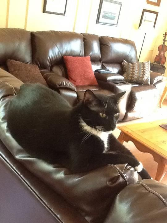 A Manx Cat On Leather Sofa