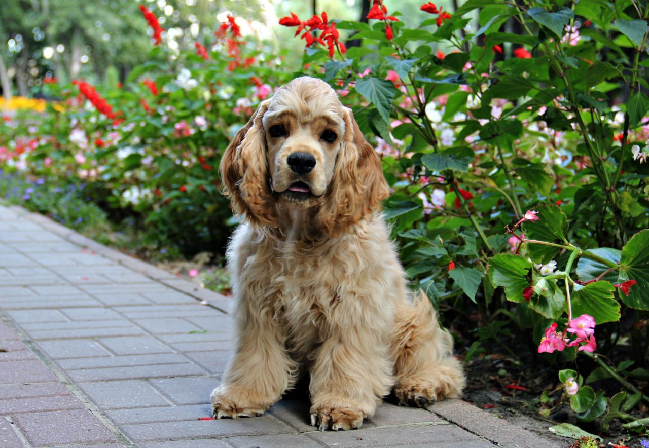 American Cocker Spaniel One Of The Most Popular Dog In Usa American Cocker Spaniel Cocker Spaniel Spaniel Puppies