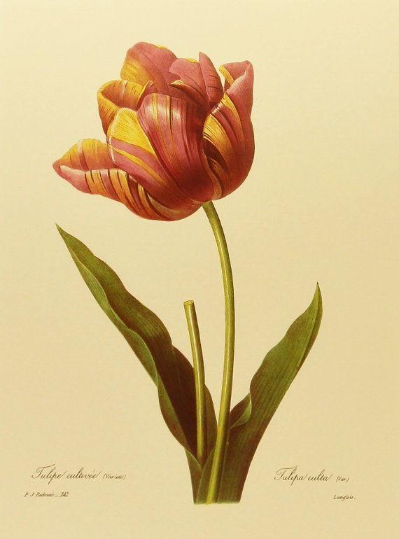 Botanical Illustration, Ribbon Tulip Art (Vintage Redoute Print, Spring Home…