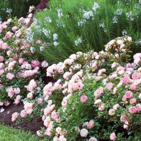 OUTSIDE OF IRIS $16.49 Peach Drift Rose, Groundcover Shrub, Live Plants #knockoutrosen OUTSIDE OF IRIS $16.49 Peach Drift Rose, Groundcover Shrub, Live Plants #knockoutrosen OUTSIDE OF IRIS $16.49 Peach Drift Rose, Groundcover Shrub, Live Plants #knockoutrosen OUTSIDE OF IRIS $16.49 Peach Drift Rose, Groundcover Shrub, Live Plants #knockoutrosen
