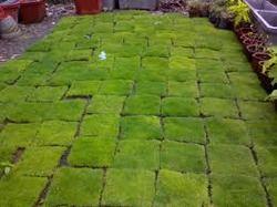 Carpet Lawn Grass