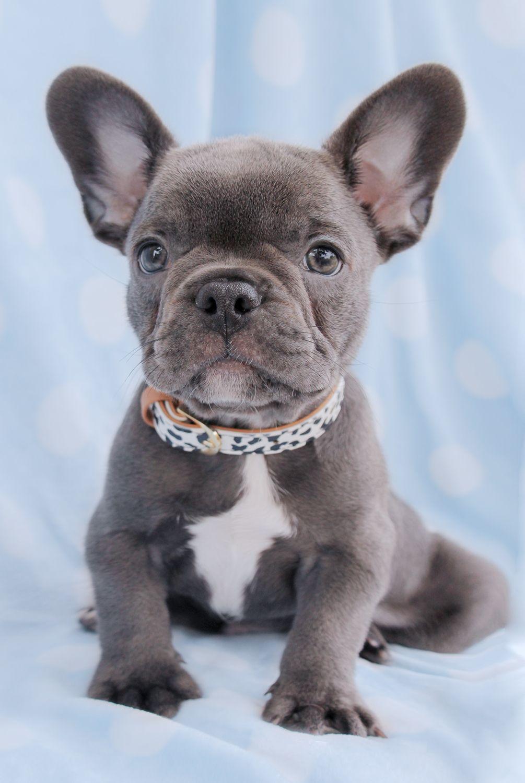 gorgeous blue french bulldog puppy | french bulldog puppies