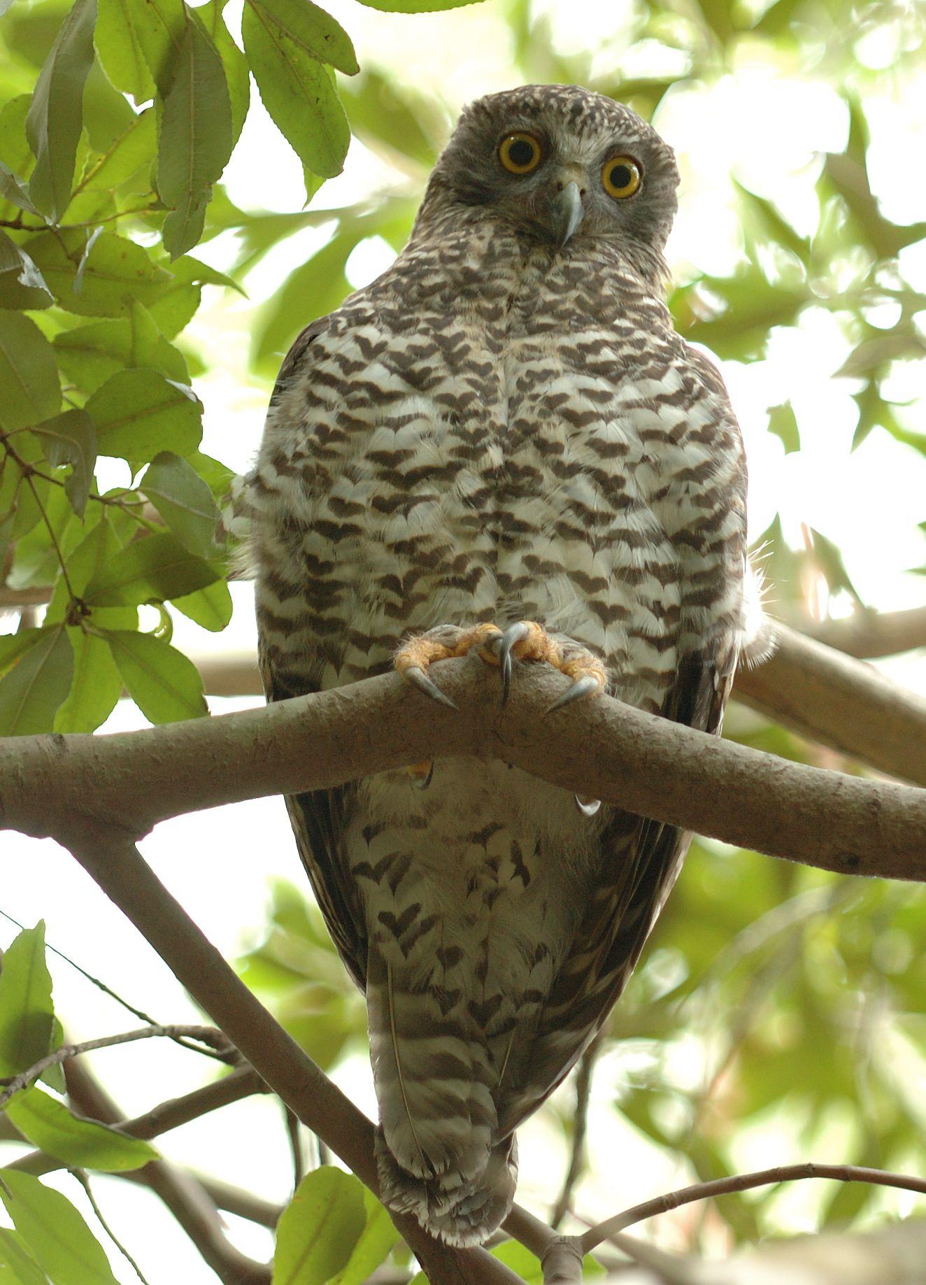 Powerful owl, Australia.