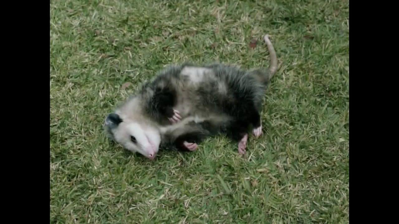 Geico possum geico insurance ad commercial on tv 2018