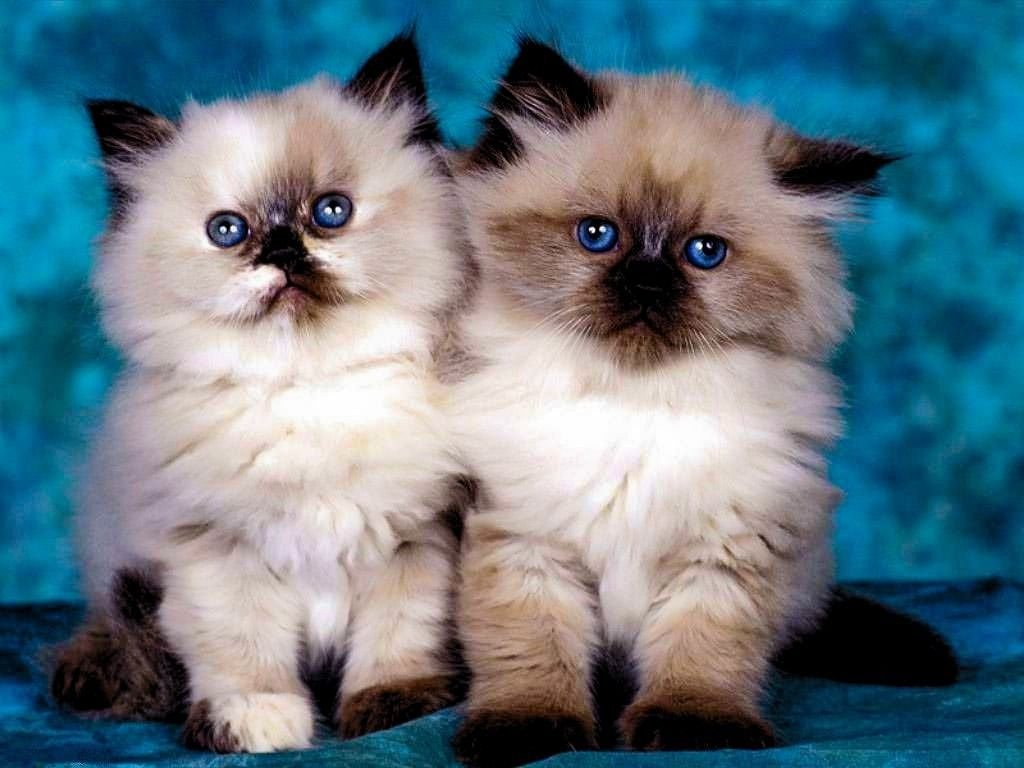 Cute Birman Cat Kittens Pictures Birman Cat And Kittens Breed The