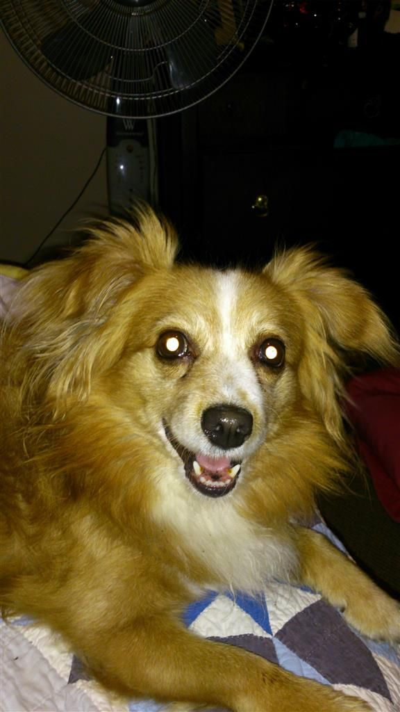 Lost Dog Pomeranian London On Canada N6b 2x1 Lost And