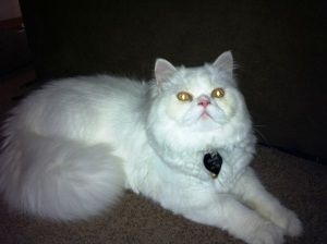 Adopt Sebastian On With Images Persian Cat Kittens Cats