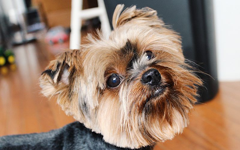 How to groom a yorkie at home tutorial yorkiegrooming