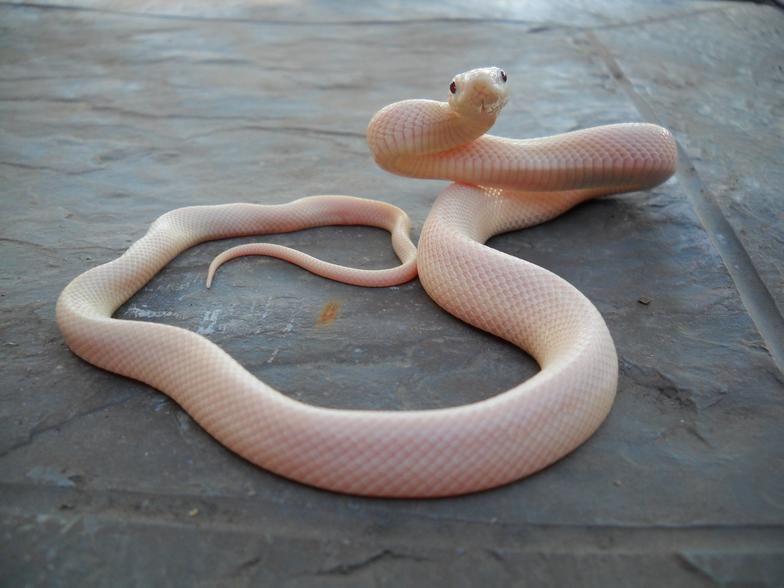 Allen Sheehan Reptiles