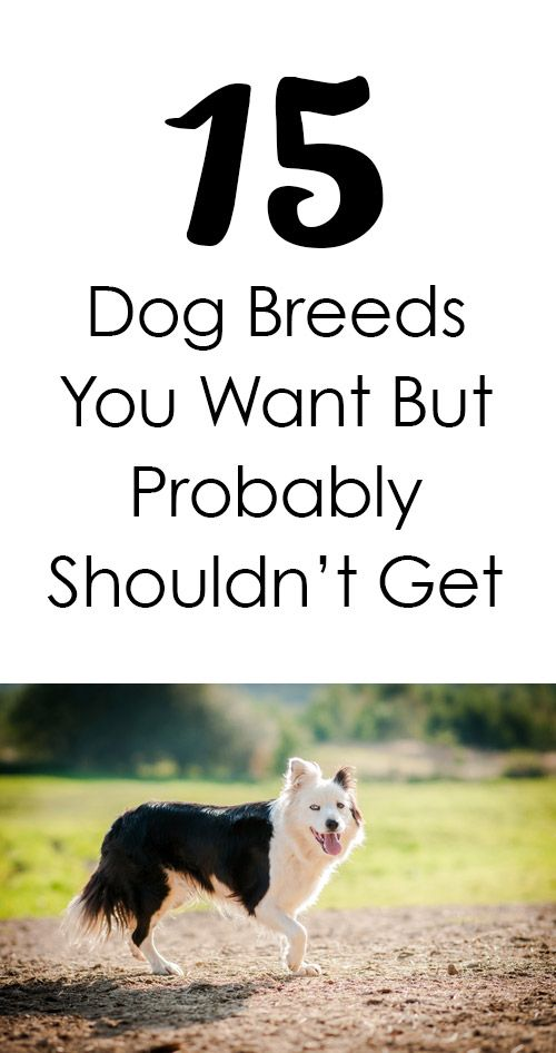 Dog Breeds You Want But Shouldnt Get