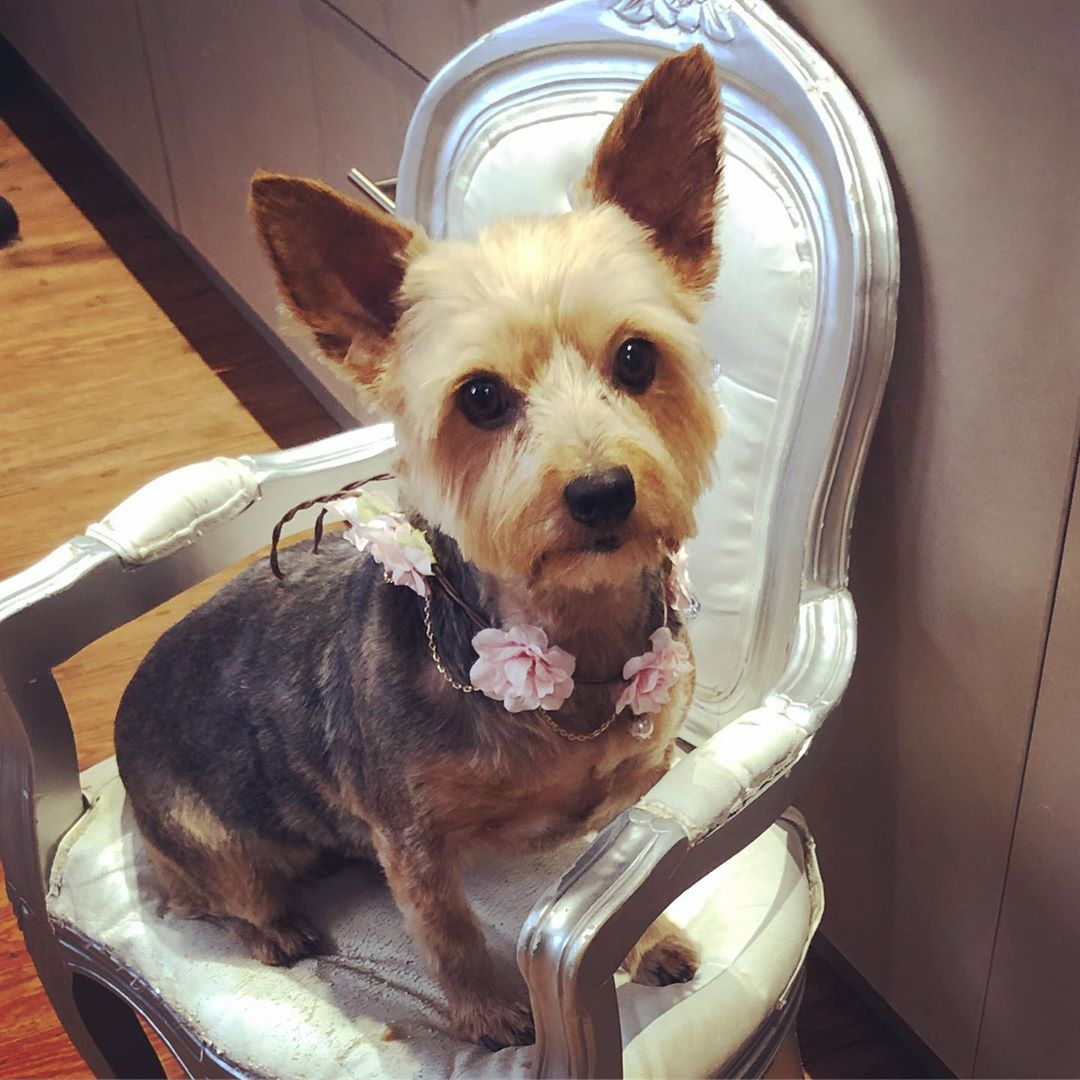 Adorable Little Girl Roxy Dogspa Doggroomersblyth