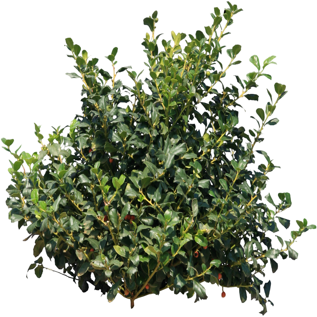 Bushes png free icons and png backgrounds bushes for Plants and shrubs