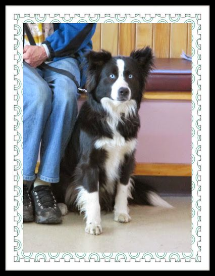 Barkley A Rescued 1 Year Old Border Collie Bordercollie