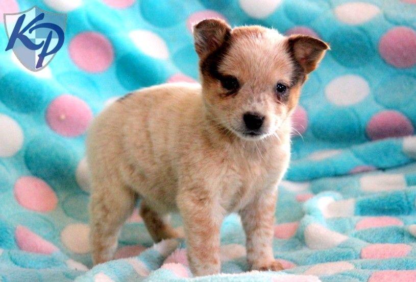Puppies For Sale Blue Heeler Puppies Blue Heeler Puppies For Sale