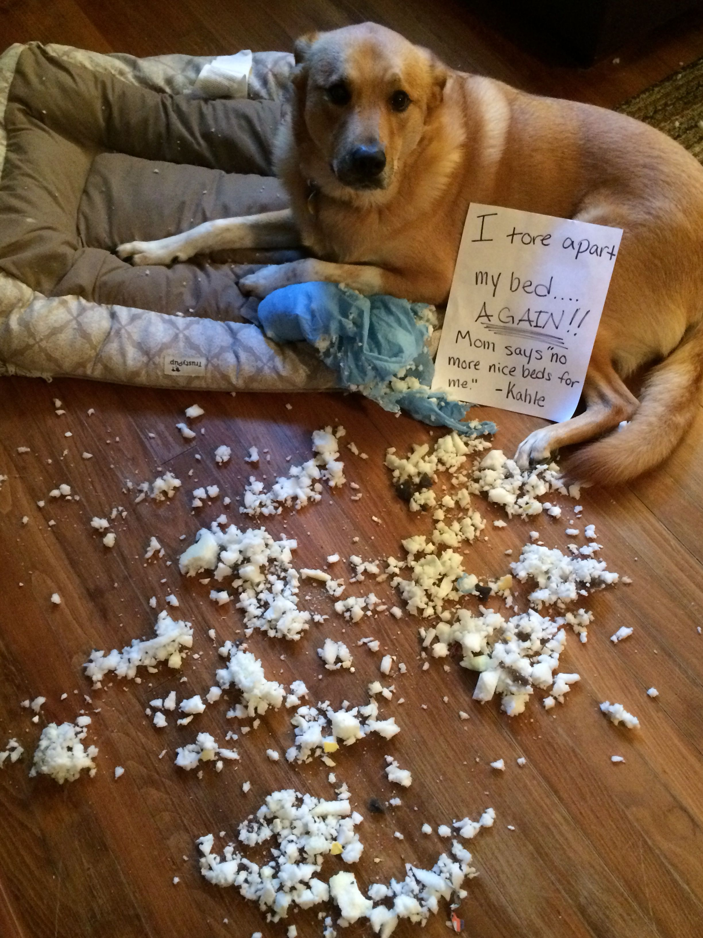 Kahle The Bed Snob Funny Dog Beds Funny Dog Pictures Animal