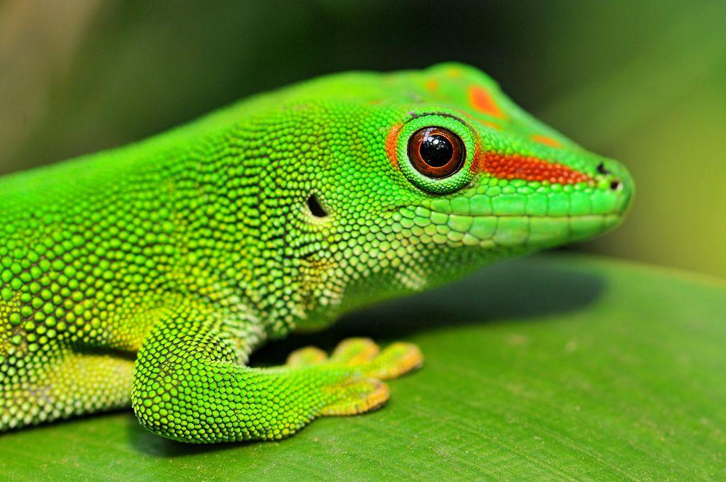 Madagascar Day Gecko (Görüntüler ile) Geckos, Amfibiler