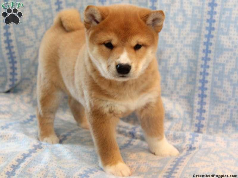 Pomeranian Pitbull Puppies | Puppies | Puppies, Pomeranian ...