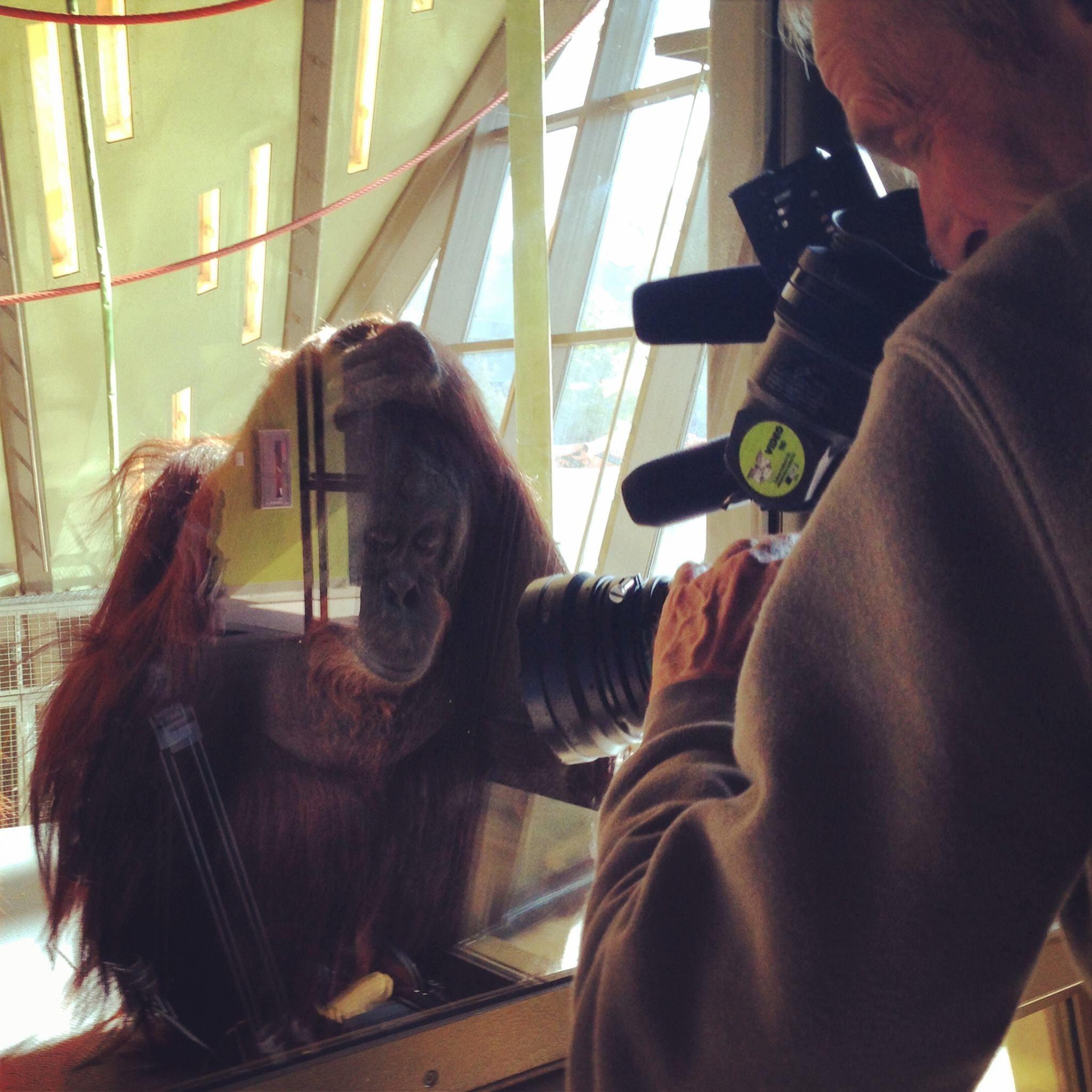 Orangutan Close Up At The Indianapolis Zoo Indianapolis Zoo Orangutan Cute Animals