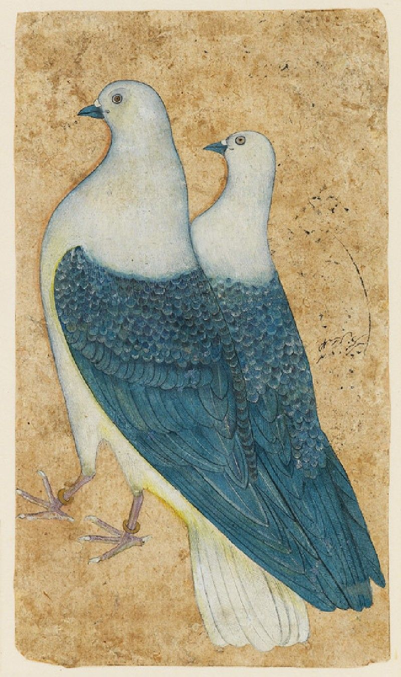 Two pigeons, Mughal, North India, c. 1650.A pair of Imperial Pigeons is shown against a plain ground. The male bird has gold rings on its legs, suggesting that these are prized birds in imperial possession. The sport of pigeon-flyingwas a favourite Mughal pastime. Over twenty thousand pigeons were kept at Akbar's court, of which five hundred were classified askhasaor élite birds.
