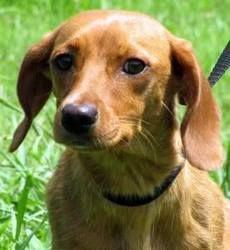Adopt Rouge Tip On Helping Animals Adoptable Dachshund Dog