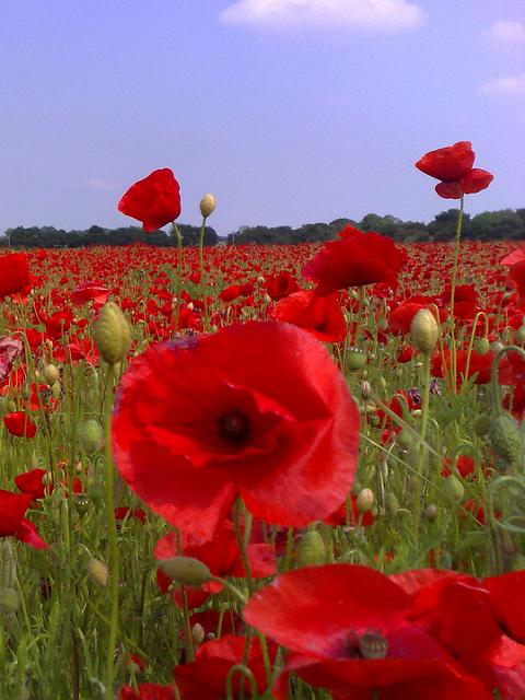 Commemorative Poppy Flower Mixture | Wildflower seeds ...