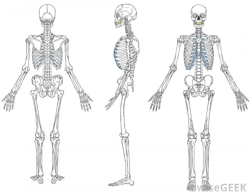 What Is A Skeletal System Diagram? (with Pictures)