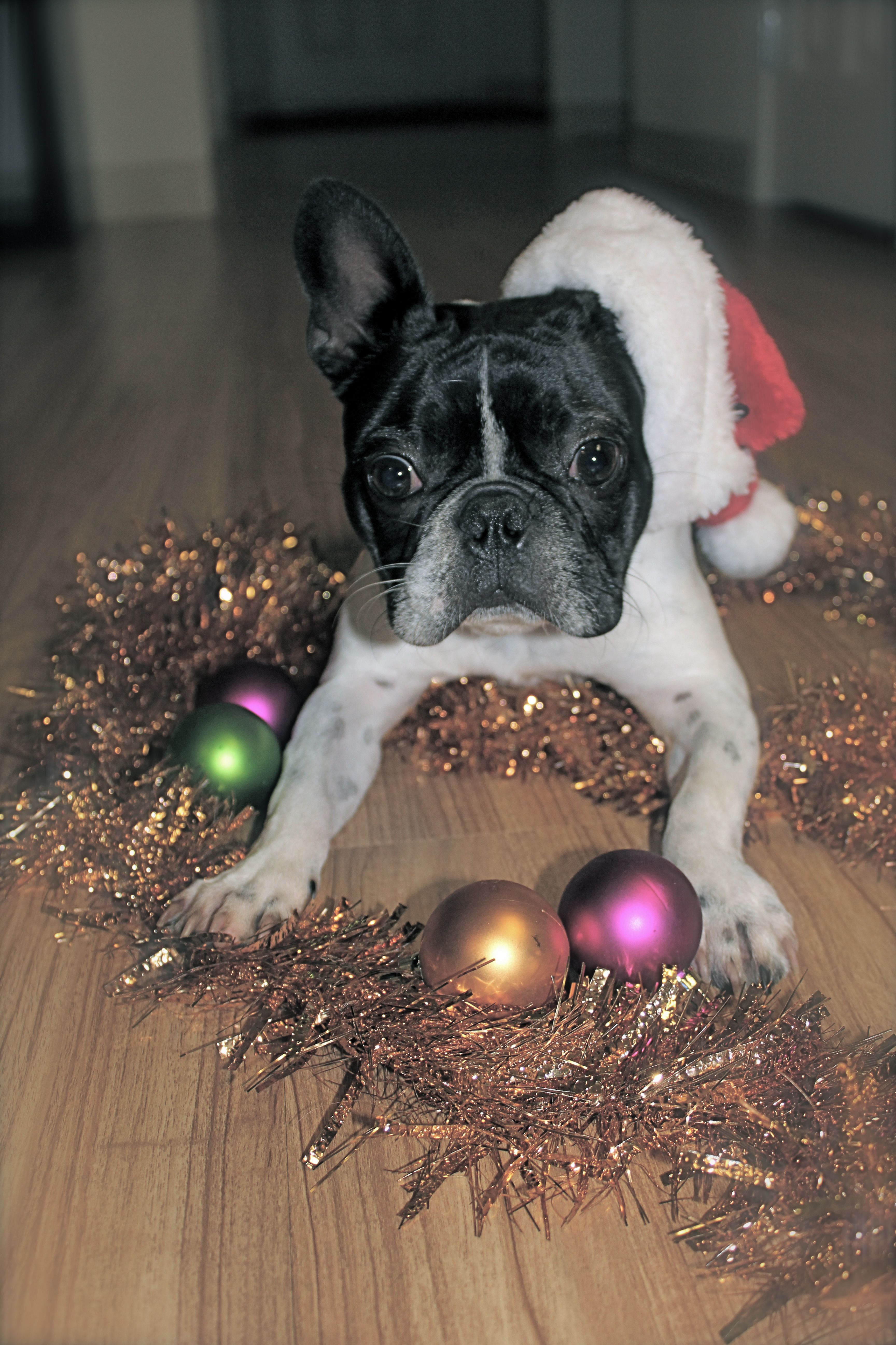 Blue Boston Terrier Puppies For Sale In Illinois References