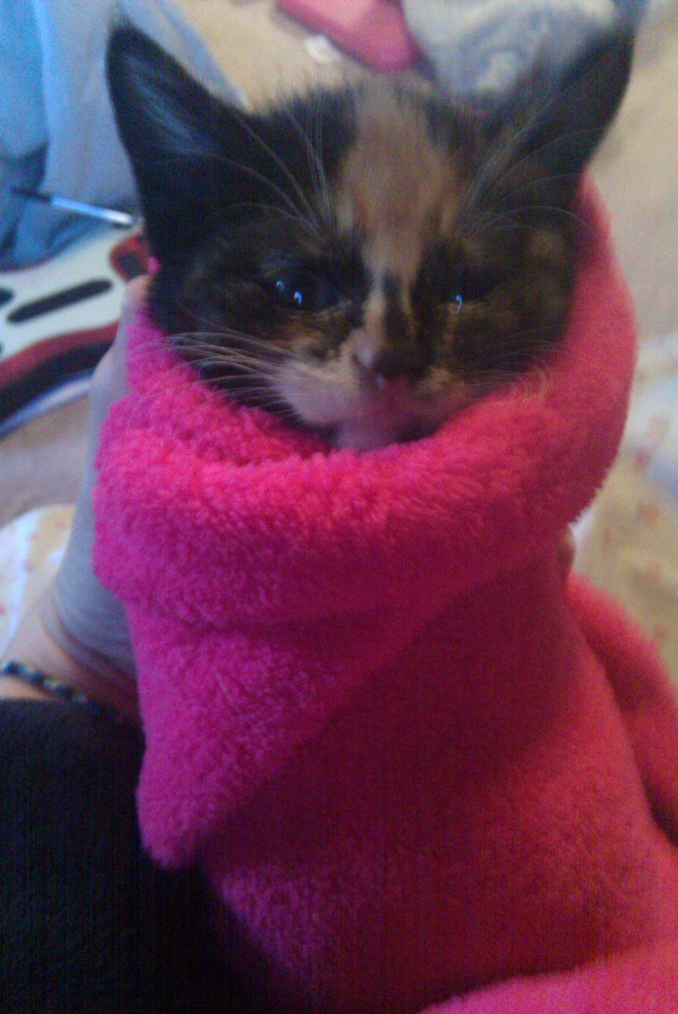 Kitten Burrito Kitten Cats Animals