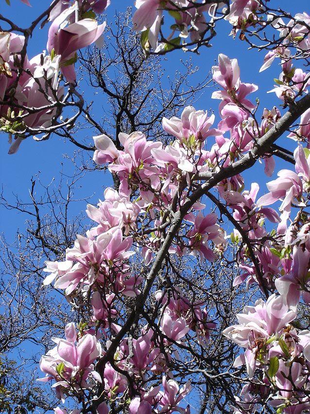 Magnolia soulangeana wikipedia yard pinterest magnolia magnolia soulangeana wikipedia mightylinksfo
