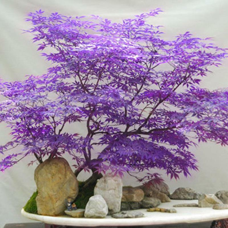 Pin By Laurentiu On Bonsai Bonsai Seeds Maple Bonsai Indoor Bonsai Tree