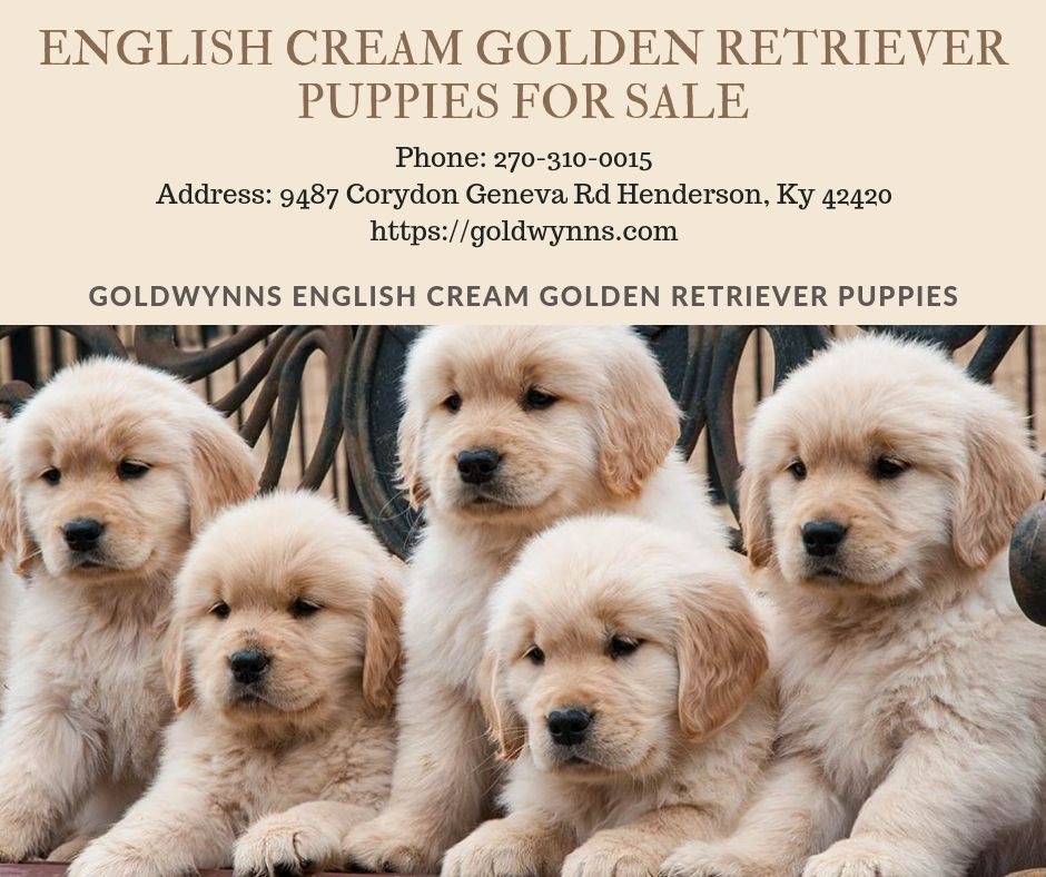 Pin On English Cream Golden Retriever Puppies