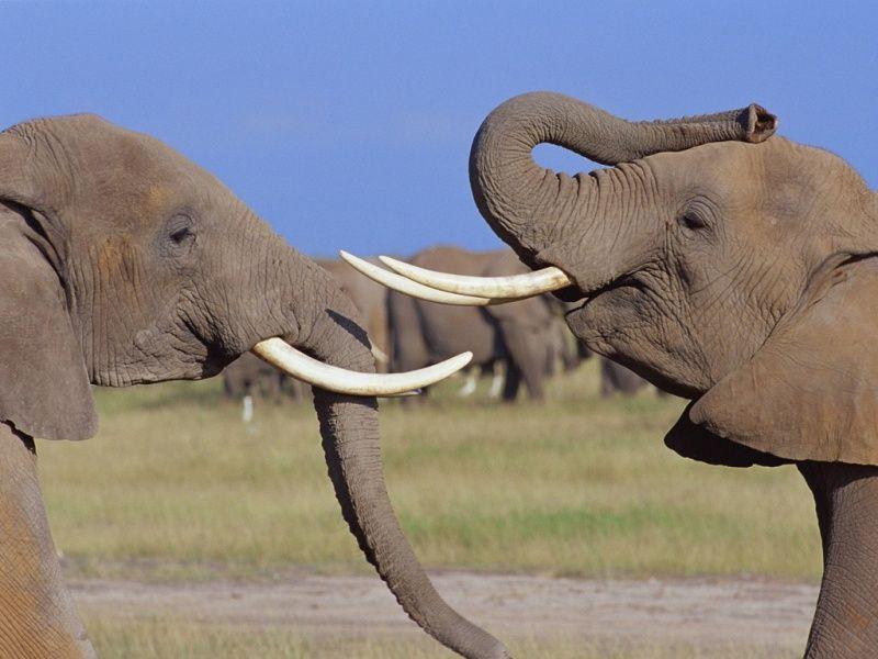 """Résultat de recherche d'images pour """"duel d'éléphants"""""""