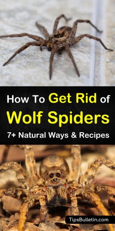 0e9b29aa873e0fcf9afa1636f66b09a4 - How To Get Rid Of Wolf Spiders In The Basement