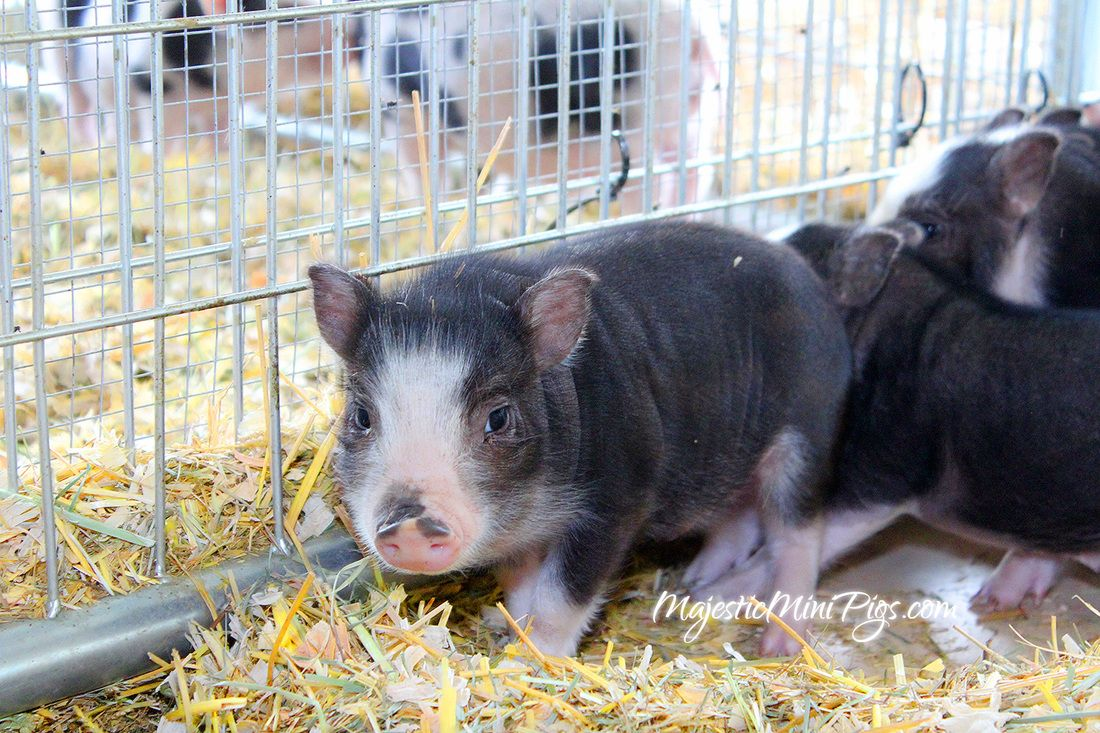 Mini Pet Pigs For Sale In California Los Angeles Hollywood Inland Empire Orange County Socalminipigs Com Mini Pig Pet Pigs For Sale Mini Pigs