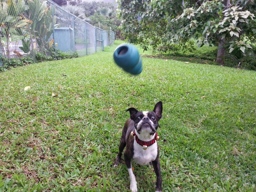 Playing Fetch with an Early Christmas Present - Brutus from Hawaii