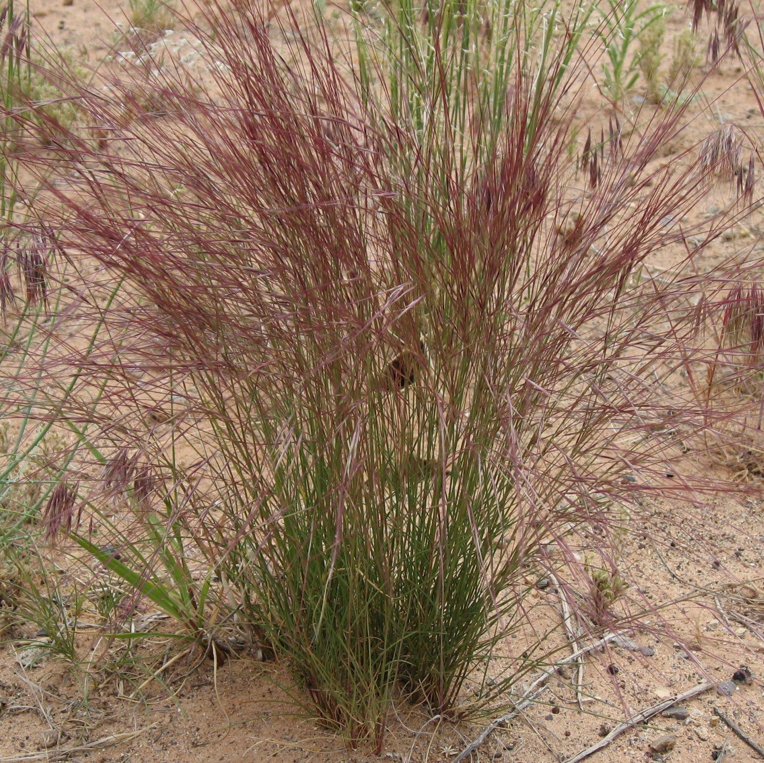 Aristida purpurea aristida purpurea longiseta for Purple grass