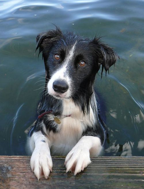 Pin By Tom Ferrier On Dogs And Puppies Collie Dog Dog Breeds Dogs