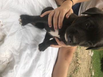 Litter Of 6 Black Shepherd Black Lab Mix Mix Puppies For Sale In Livonia Mi Adn 42115 On Puppyfinder Co Puppies For Sale German Shepherd Mix Puppies Livonia