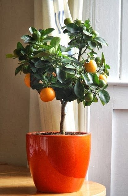 Would you have a miniature citrus fruit tree in your home? Each time I take...