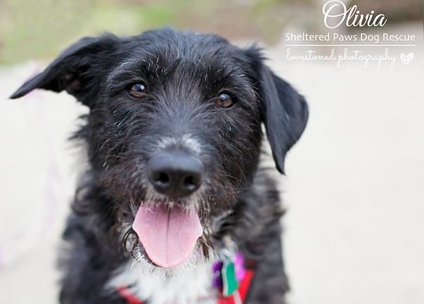 Adopt A Olivia On Petfinder Foster Dog Schnauzer Dogs Doggy