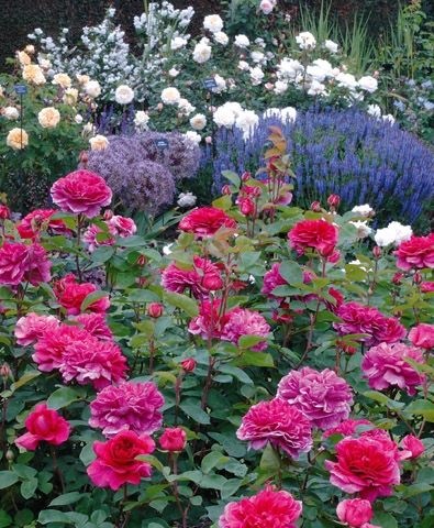 Rose breeders - Home - David Austin Roses -Available at your garden center Spring 2014