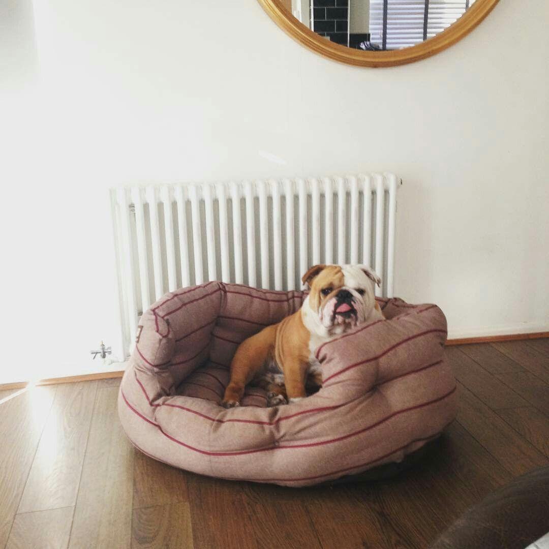 Omg A New Bed English Bulldog Puppies Bulldog Puppies