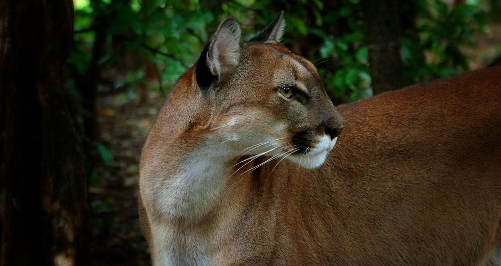 Puma Mountain Lion Puma Concolor Gnjaguar Wildcats Of Costa Rica Greennoise Real Nature Sounds From The Costa Rican Wild Cats Mountain Lion Big Cats