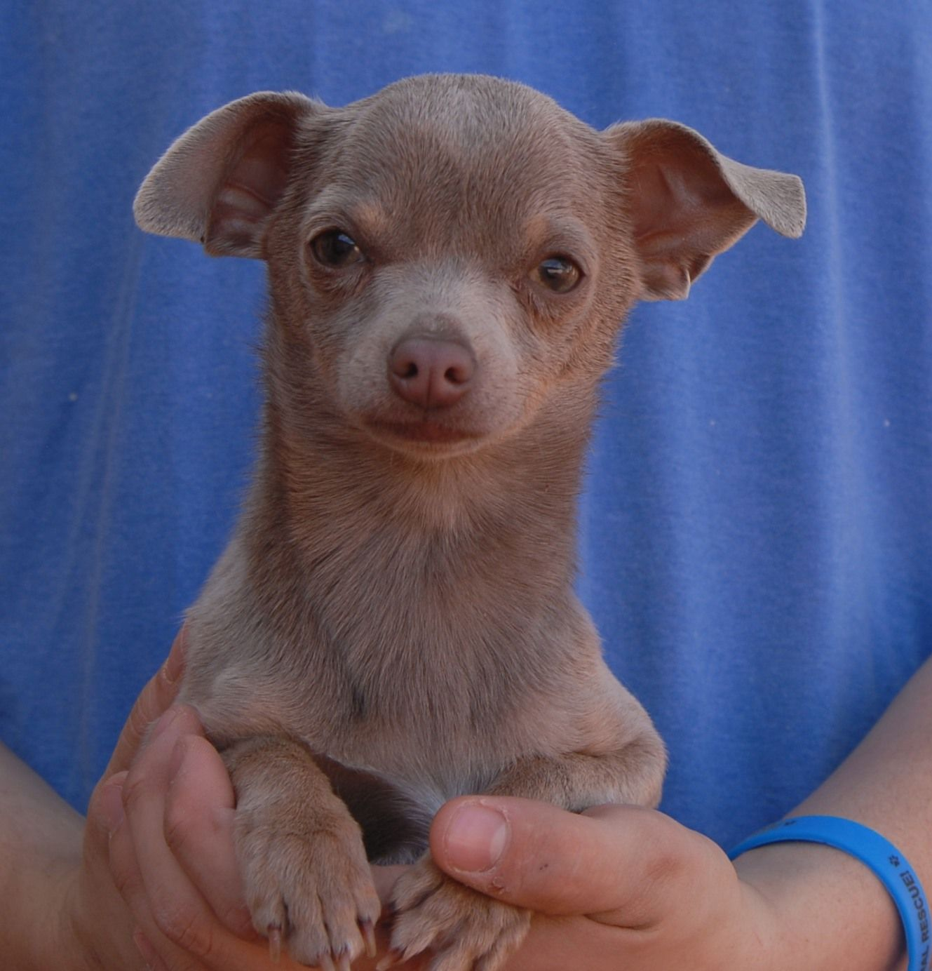 Orlando Is A Tiny 3 Pound Junior Puppy Who Wants To Feel Loved