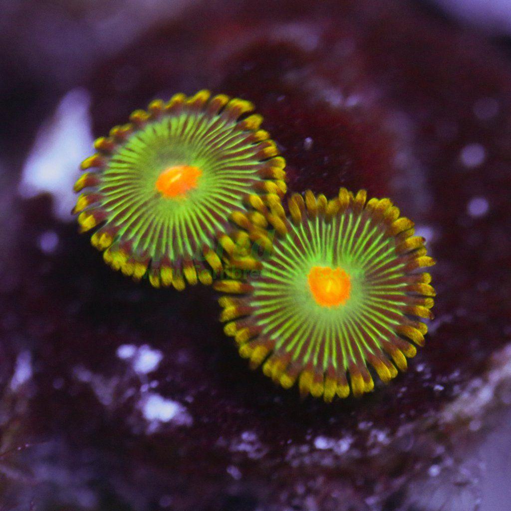 Cornbred S Blanka Zoas Corals For Sale Saltwater Tank Reef Tank